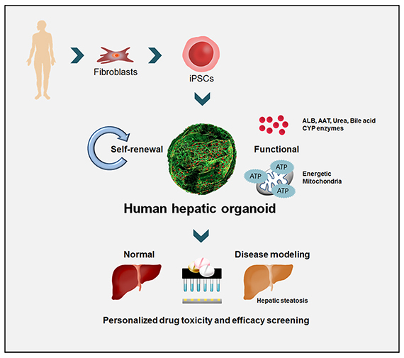 Developing a High-functioning Hepatocyte-like Organoid Crucial to the Development of New Drugs의 대표사진